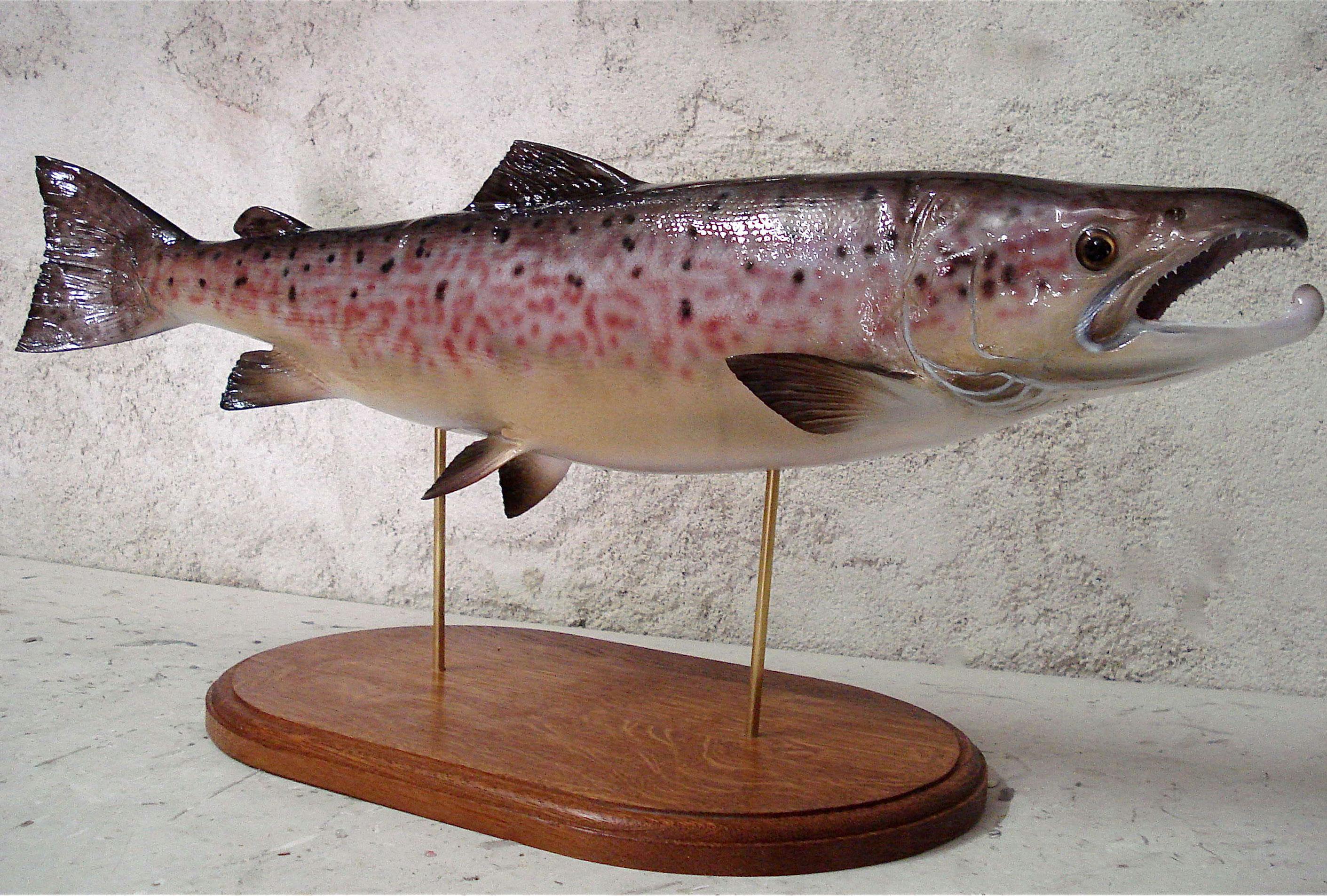 saumon atlantique trophée décoration cap vert